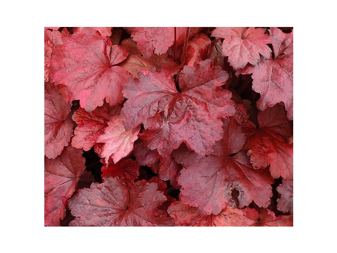 Dlužicha 'Galaxy' - Heuchera 'Galaxy'