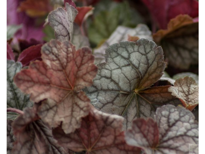 Dlužicha ´Twilight´ - Heucherella 'Twilight'