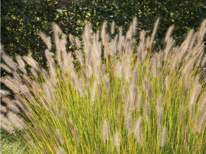 Dochan psárkovitý var. japonicum - Pennisetum alopecuroides var. japonicum