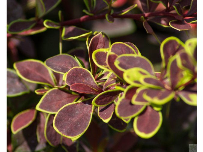 berberis golden ring (1)