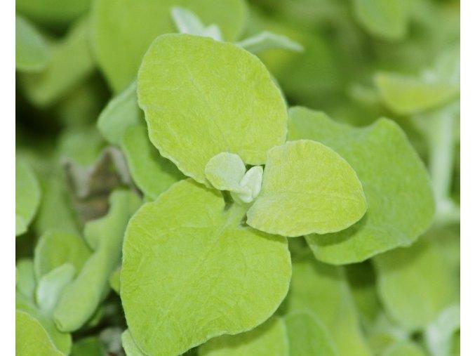 Helichrysum - různé druhy