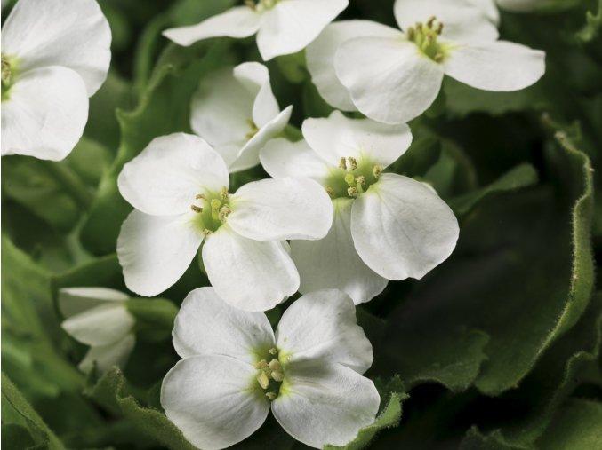 Huseník kavkazský 'Little Treasure White' - Arabis caucasica comp. 'Little Treasure White'