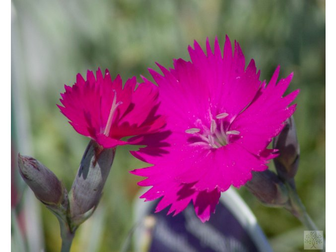 dianthus scayness hill