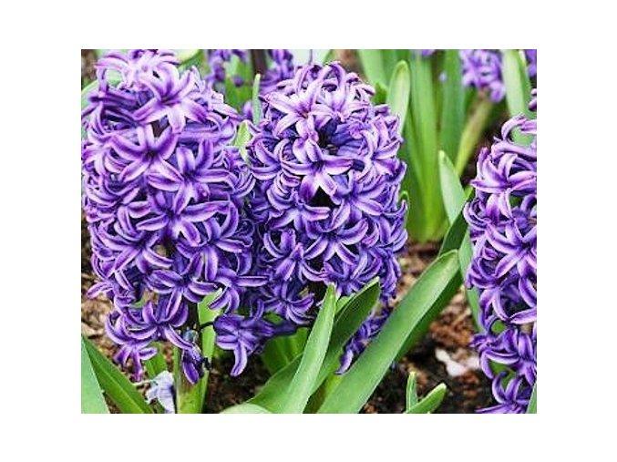 Hyacint ´Blue Jacket´