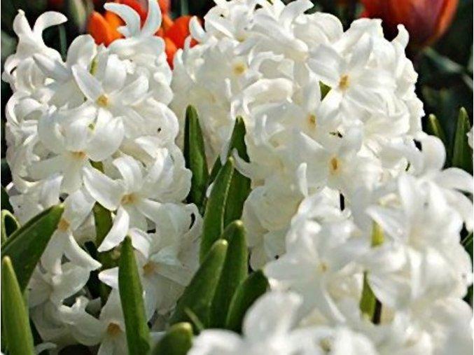 41766 1 hyacint carnegie