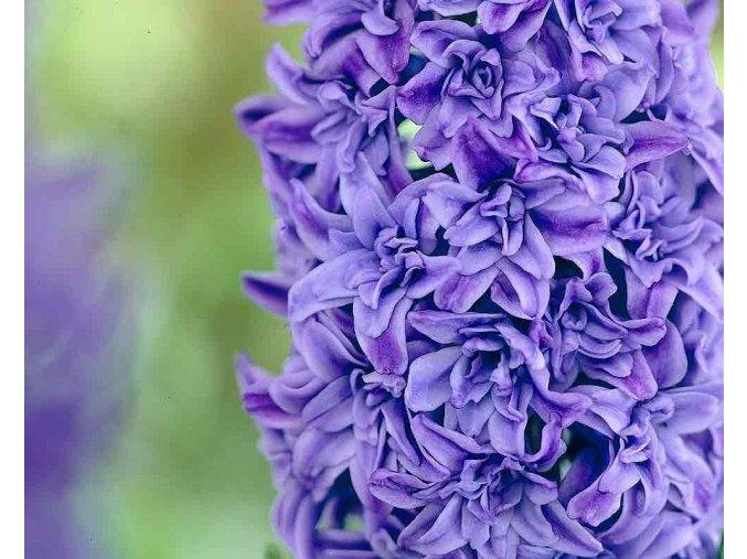 Hyacint ´Crystal Palace´