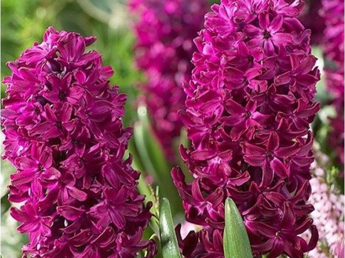 41853 1 hyacint woodstock