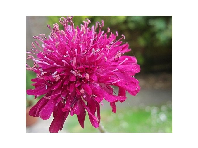 Chrastavec makedonský ´Red Knight´ - Knautia macedonica 'Red Knight'