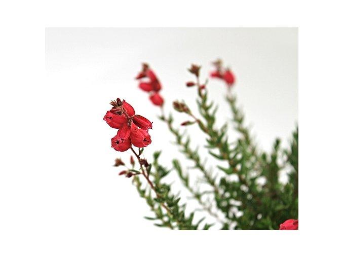 Irský vřes/červeno-růžový