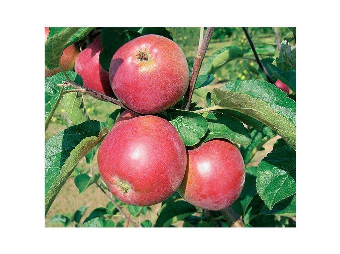 Jabloň ´Ametyst´