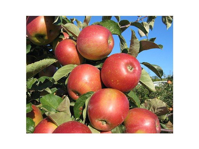 Jabloň ´Angold´
