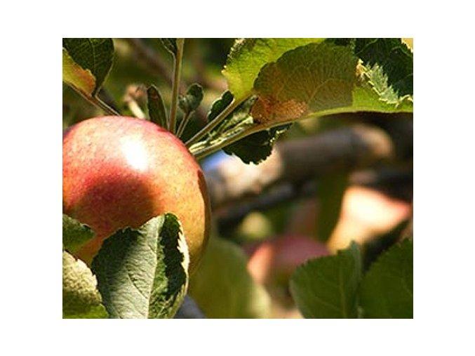 Jabloň ´Crimson King´