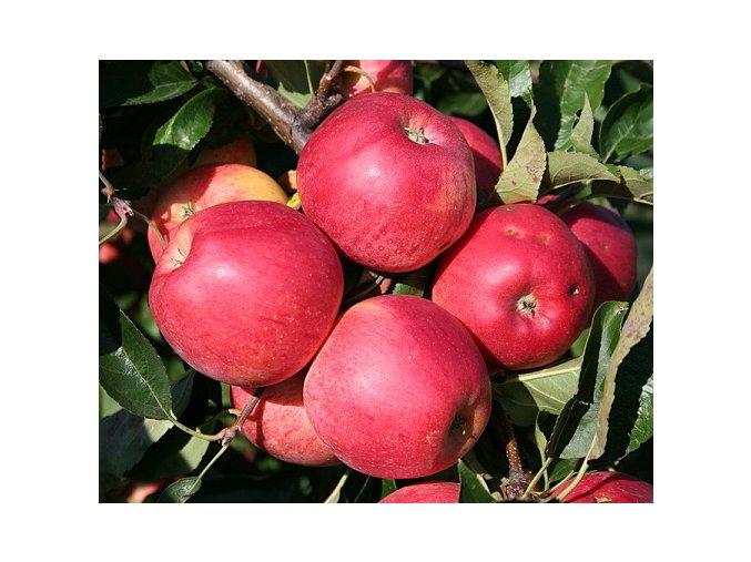 Jabloň ´Gala Mitchgla´