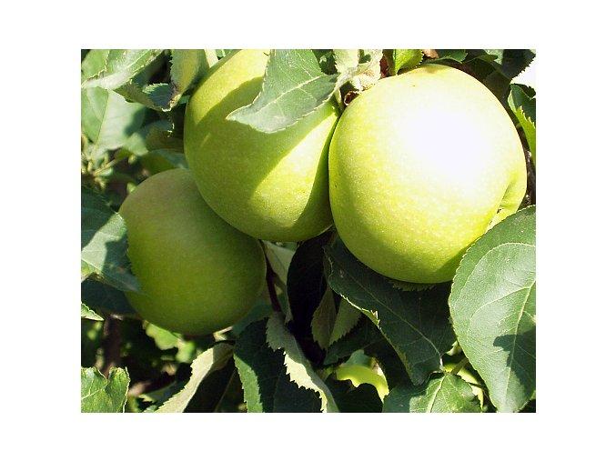 Jabloň ´Golden Delicious  Reinders´