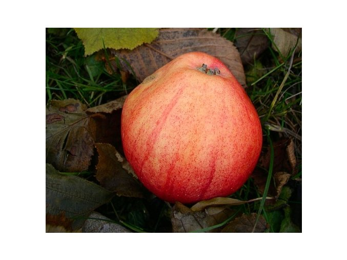 Jabloň ´Nathusiovo Holubí´