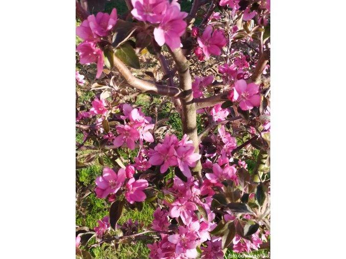 Jabloň ´Red Love´