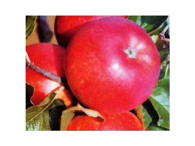 Jabloň ´Royal Gala´