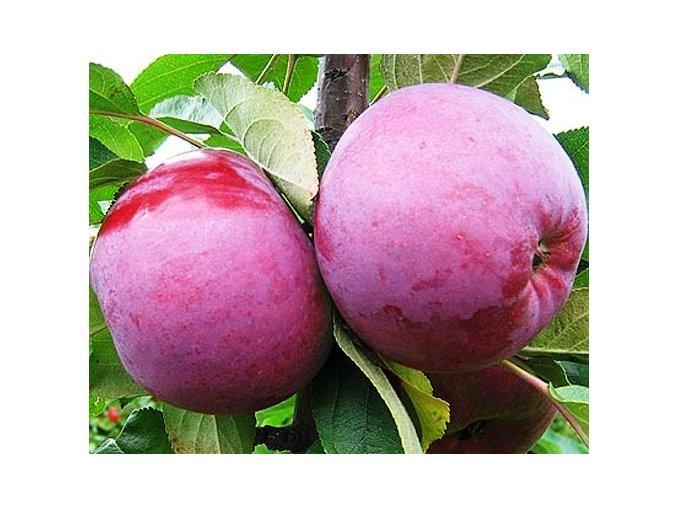 Jabloň sloupovitá ´Gatis´