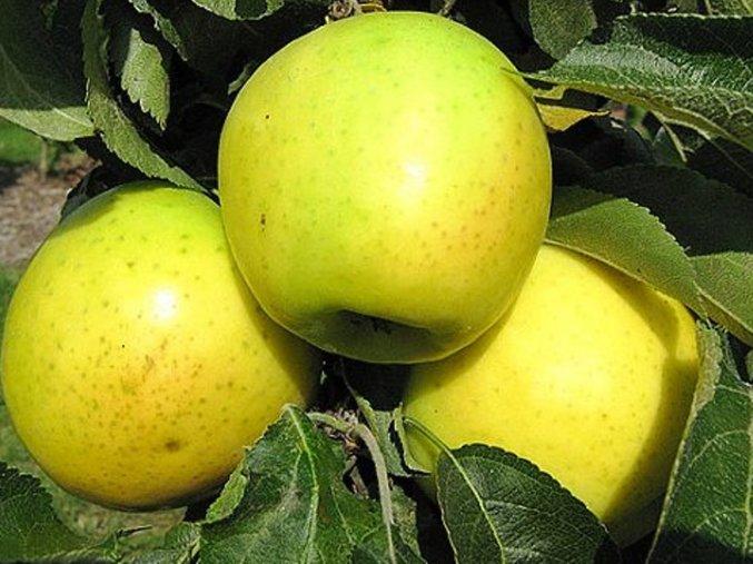 Jabloň sloupovitá ´Malücha´