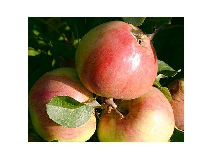 Jabloň sloupovitá ´Polka´