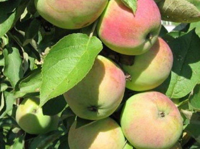 Jabloň sloupovitá ´President´