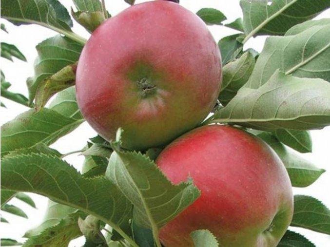 Jabloň sloupovitá ´Suncats´