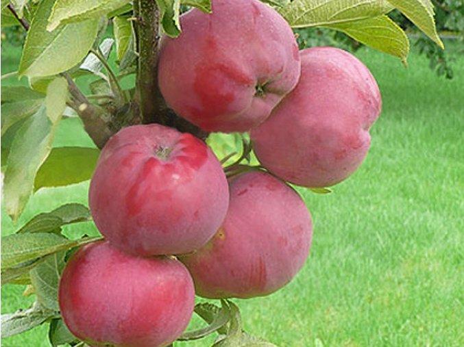 Jabloň sloupovitá 'Dejavu'