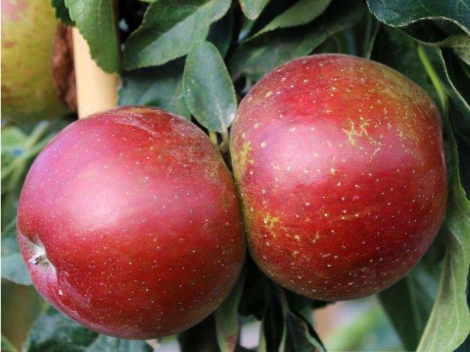 Jabloň sloupovitá ´Waltz´