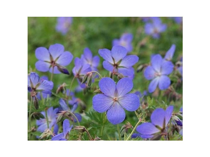 Kakost ´Johnson´s Blue´ - Geranium 'Johnson´s Blue'