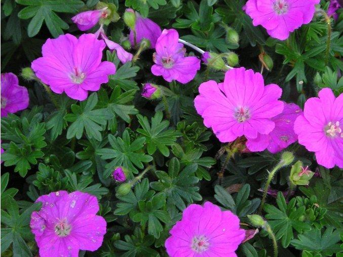 Kakost krvavý ´Max Frei´ - Geranium sanguineum 'Max Frei'
