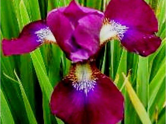 Kosatec sibiřský ´Roter Milan´ - Iris sibirica 'Roter Milan'