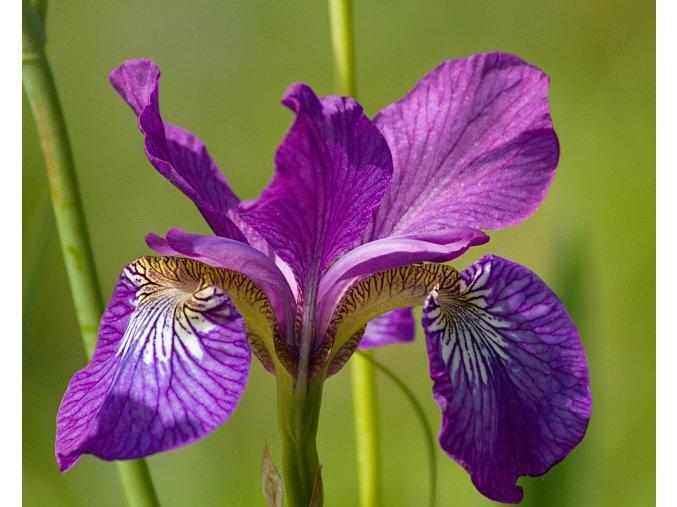 Kosatec sibiřský ´Sparkling Rose´ - Iris sibirica 'Sparkling Rose'
