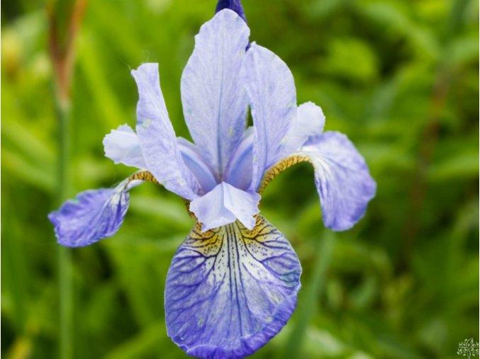 Kosatec sibiřský ´Tamberg´ - Iris sibirica 'Tamberg'