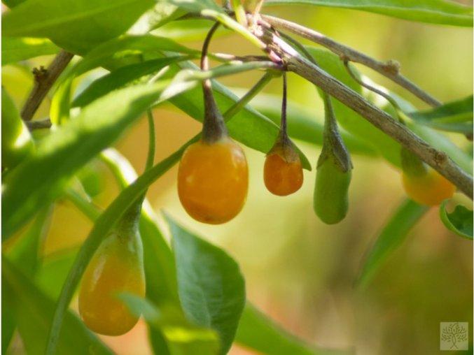 Kustovnice ´Amber Sweet Goji´