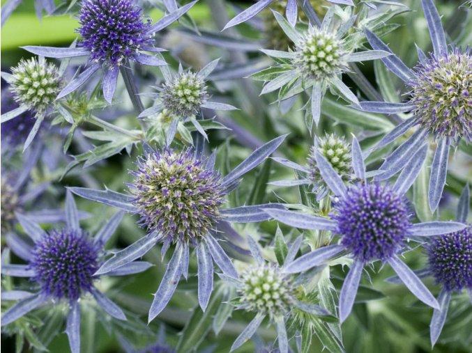 Máčka plocholistá ´Blue Hobbit´ - Eryngium planum 'Blue Hobbit'