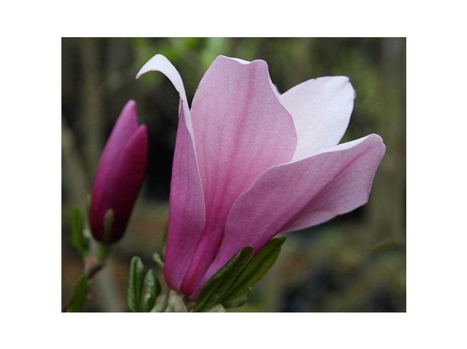 50367 1 magnolie randy