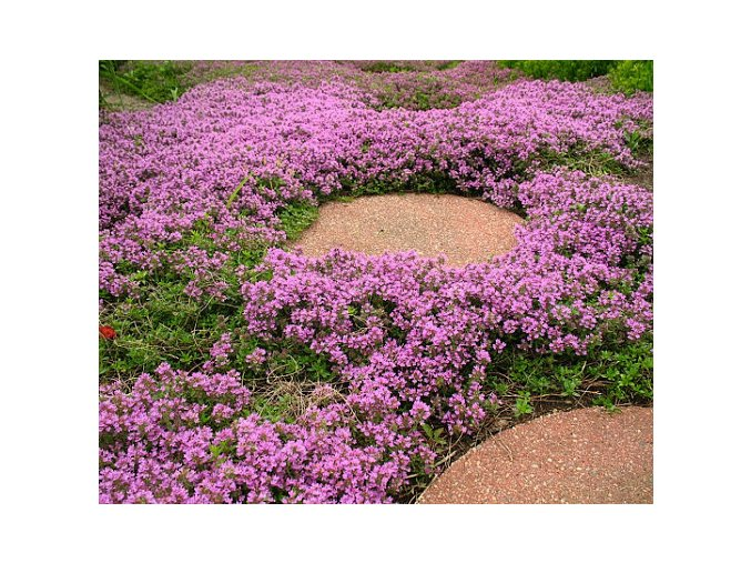 Mateřídouška praecox ´Pink Chintz´ - Thymus praecox 'Pink Chintz'