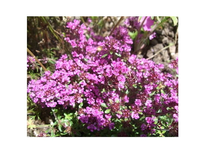 Mateřídouška praecox ´Red Carpet´ - Thymus praecox 'Red Carpet'