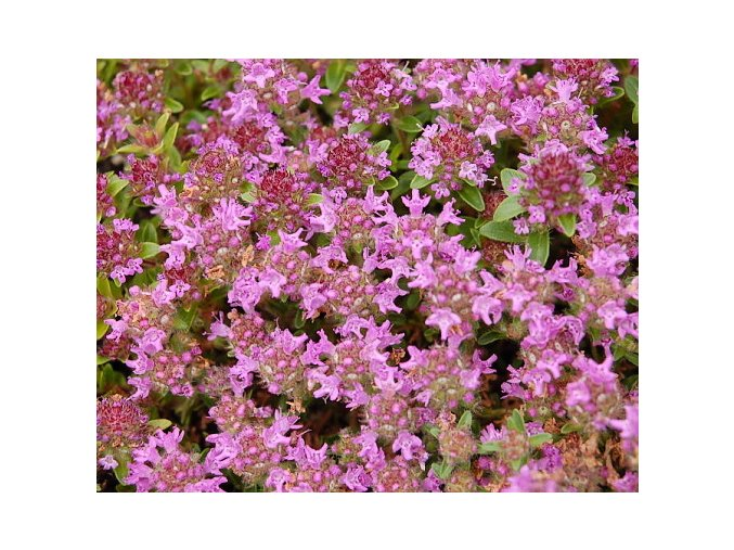 Mateřídouška úzkolistá ´Magic Carpet´ - Thymus serpyllum 'Magic Carpet'