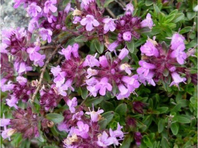 Mateřídouška vejčitá - Thymus pulegioides