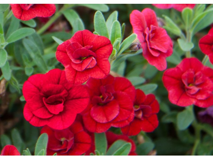 Calibrachoa - Million Bells ´Double Purple Red´