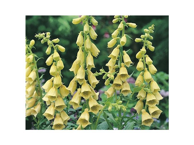 Náprstník velkokvětý ´Carillon´ - Digitalis grandiflora 'Carillon'