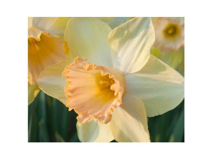Narcis ´Modulation´