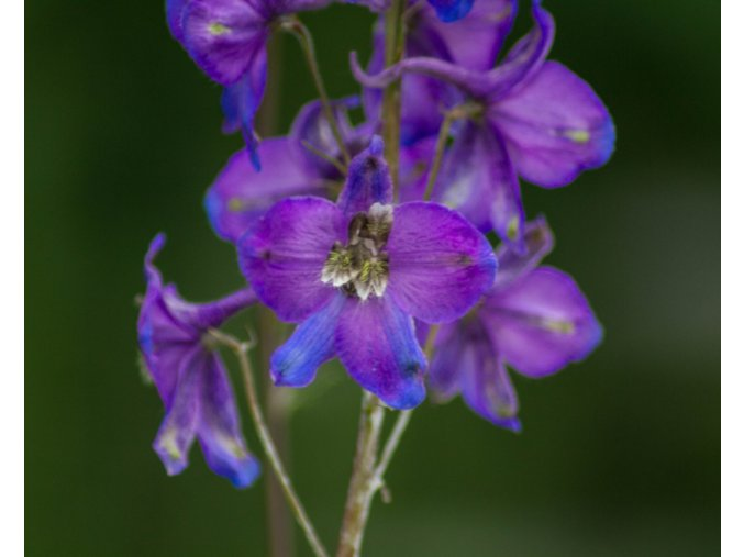delphinium black knight (1)