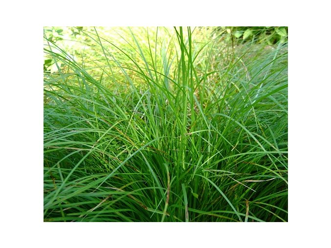 Ostřice japonská  ´Irish Green´ - Carex morrowii 'Irish Green'