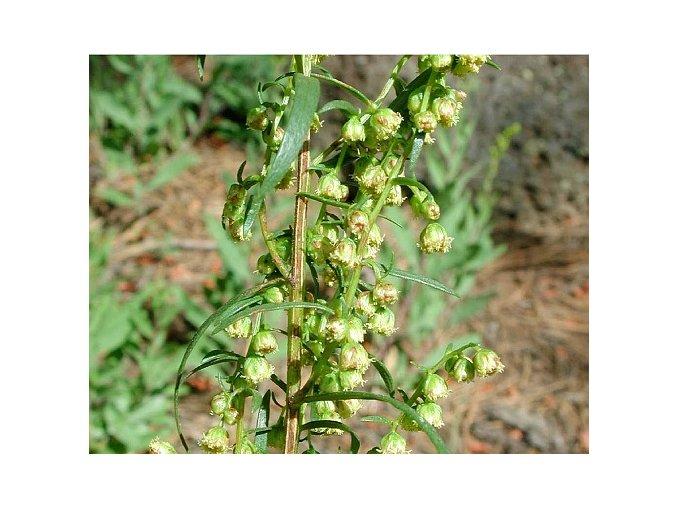 Pelyněk estragon ´French Dragon´ - Artemisia dracunculus ´French Dragon´