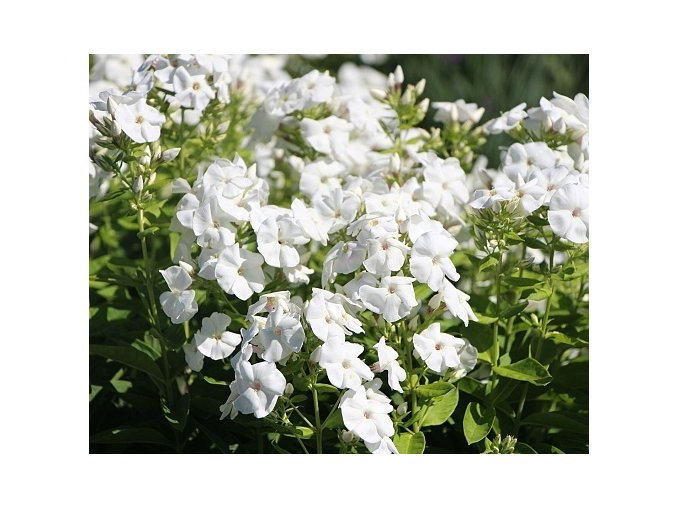 Plamenka latnatá ´Younique White´ - Phlox paniculata 'Younique White'
