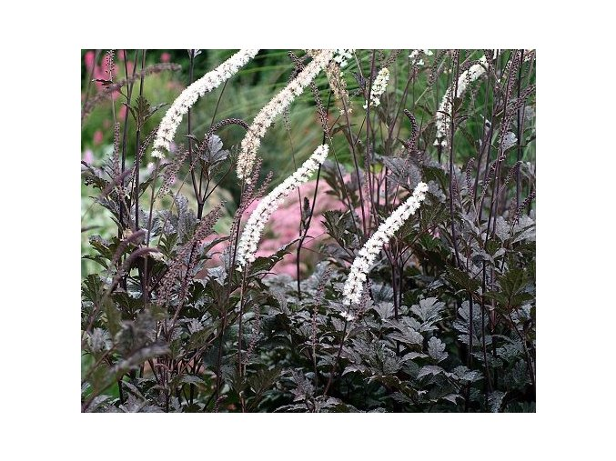 Ploštičník hroznatý ´Pink Spike´ - Cimicifuga racemosa 'Pink Spike'
