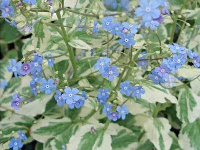 Pomněnkovec velkolistý ´Variegata´ - Brunnera macrophylla 'Variegata'