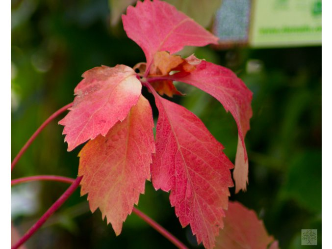 Parthenocissus quinquefolia ´Red Wall´